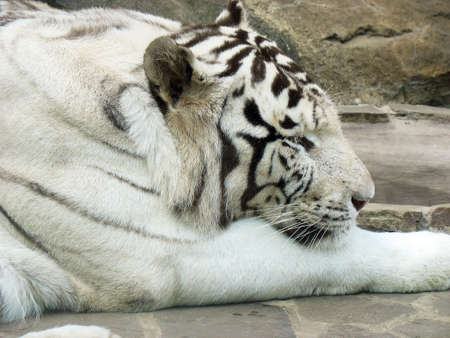 Photography is in the Moscow zoo of white tiger photo