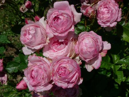 sudtirol: pink roses in sudtirol, north east italy