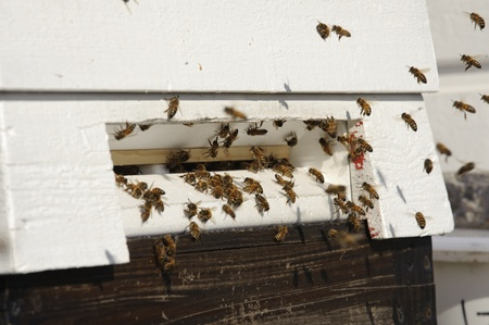 Honey bees before the hive entrance