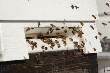 Honingbijen voordat de korf ingang