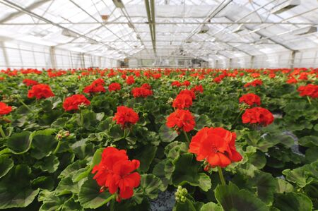 Greenhouse with blooming geranium plats