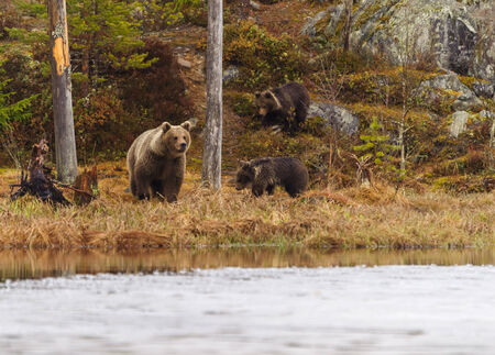 Female bear with two cubs