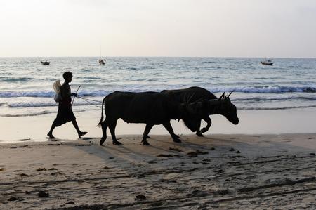 Jongen toonaangevende waterbuffels op Ngapali Beach Stockfoto