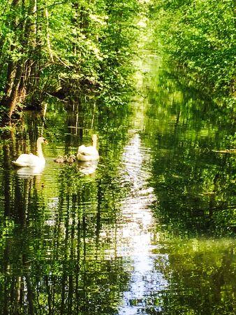 Swan family on lush landscape