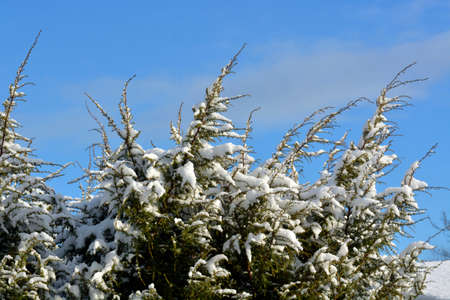 enebro: Juniper trees covered with snow