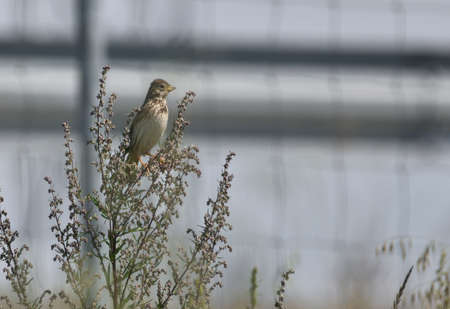 Corn bunting perched on a twig getting ready to sing