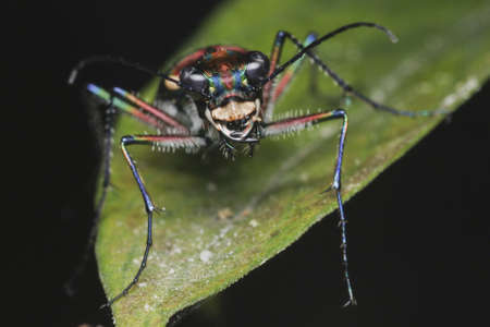tiger beetle: Tiger Beetle Face to Face