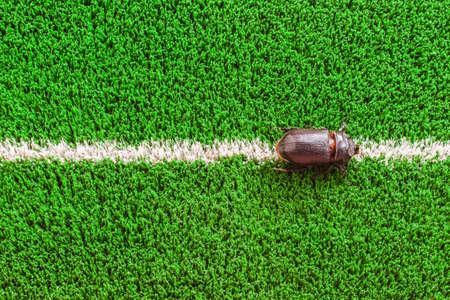 oryctes: Coconut Rhinoceros Beetle (Oryctes rhinoceros), female crawling on the white line