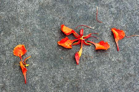 flamboyant: Flam-boyant bloemblaadje druppel op de grond Stockfoto