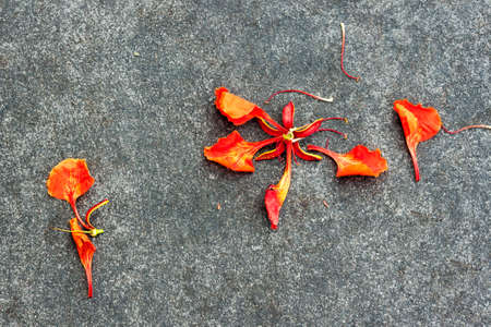 flamboyant: Flam-boyant flower petal drop on the ground