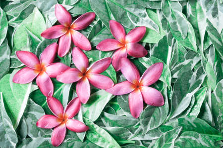 drenched: Group of pink drenched frangipani or Plumeria on green leaves