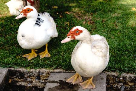 muscovy duck: Muscovy duck in the public park