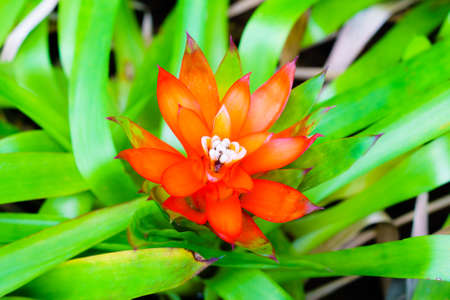 guzmania: Orange Tufted airplant blooming (Guzmania sp) - Shallow DoF - Suitable for Background usage