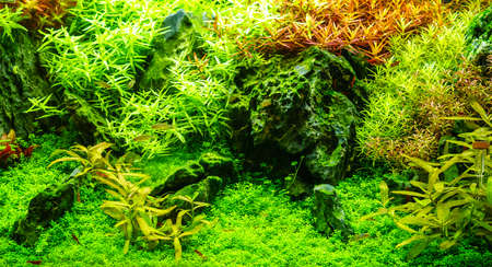 freshwater aquarium: Green beautiful planted tropical freshwater aquarium with fishes and red shrimps