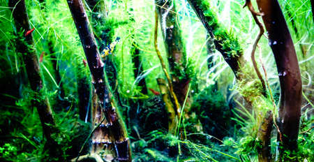 freshwater aquarium: Green beautiful planted tropical freshwater aquarium with small fishes
