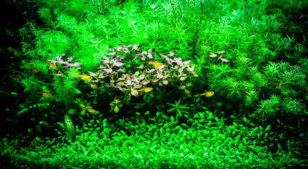 Green beautiful planted tropical freshwater aquarium with small fishes