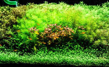 A green beautiful planted tropical freshwater aquarium with small yellow fishes