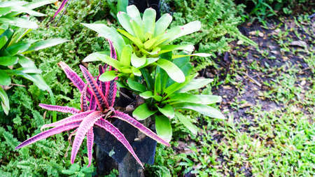 Bromeliad and Cryptanthus decoration in the  garden Stock Photo