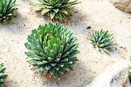 agave: Agave victoria reginae or Queen victoriae agave in garden Stock Photo