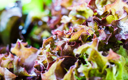 close up red oak lettuce. hydroponics vegetable. Stock Photo