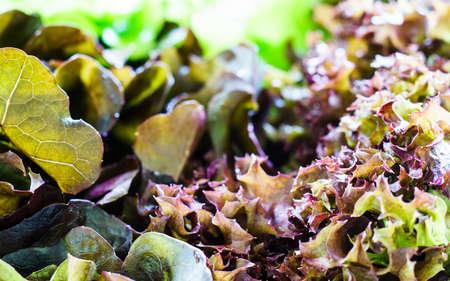 close up red oak and green oak lettuce. hydroponics vegetable.