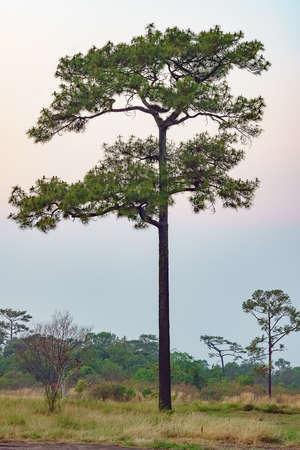 A Merkus pine tree standing tall in an open field