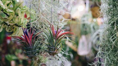 tillandsia flower air plant for garden decoration