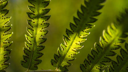 Close up fern leaves and its spores with green forest nature background. Macro shot selective focus. Natural green fern leaves wallpaper concept. Ecology background concept. Stock Photo