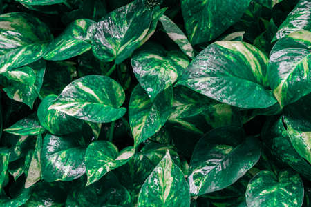 Epipremnum aureum or golden pothos plant with water drop on the raining day texture background. Abstract tropical green leaf textured background, large foliage, background for green nature.