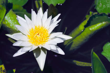 White lotus with yellow pollen on bloom in the lotus pond in the summer sunny day. Reklamní fotografie