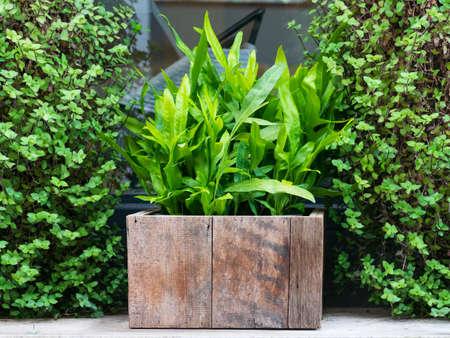 green leaf plant in vintage retro wooden pot decoration in the garden, outdoor plant garden decoration