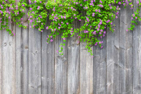 Brown grey wooden fence with beautiful green leaves plant and pink violet flowers border with empty copy space. Texture background of the old wood planks with climbing plant. Archivio Fotografico - 129272724
