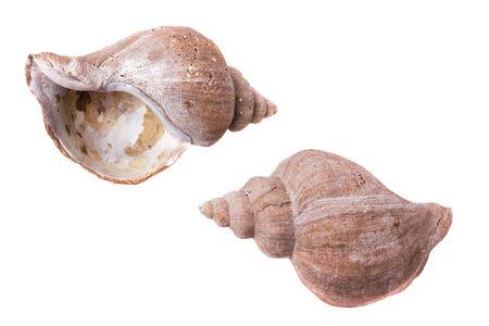 Shells of molluscs, blank rough thrown surf