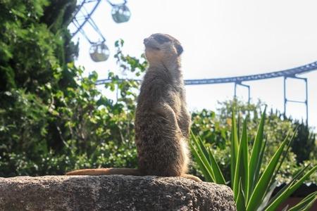 Zoo meerkat looks Stock Photo