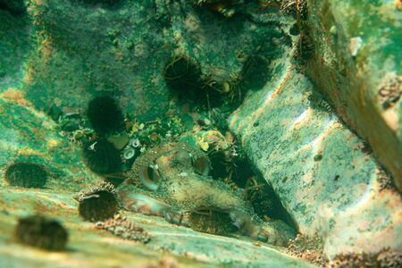 the octopus lives under water among corals and sea urchins hunts for fish