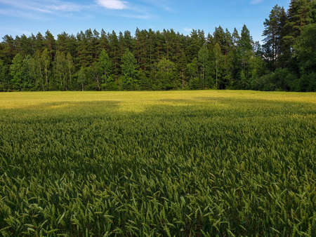 Landscape of green wheat fields near forest during summer. Crops field with sky and clouds 写真素材 - 129434326