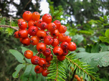 Ashberry, rowan, mountain ash, service tree berries with leafs hanging on tree during summer in forrest 스톡 콘텐츠