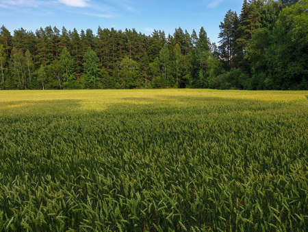 Landscape of green wheat fields near forest during summer. Crops field with sky and clouds 写真素材 - 128902812