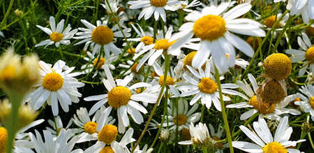 Closeup of Chamomile flower field near forrest growing on ground during summer.
