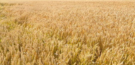 Closeup of Golden brown wheat field crops in countryside near forrest during summer. Agriculture. 写真素材 - 128902972