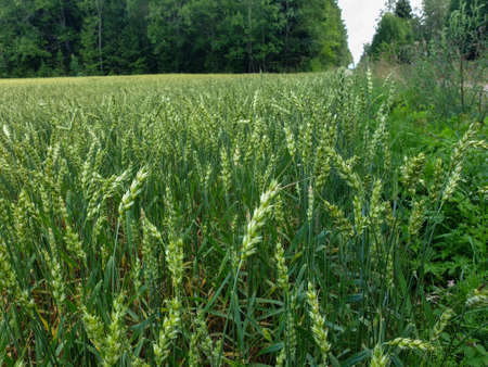Closeup of summer fields of green crops grass near the forest. Grains, wheat field. Agriculture 写真素材 - 128902985