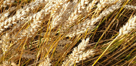 Closeup of Golden brown wheat field crops in countryside near forrest during summer. Agriculture. 写真素材 - 128902988