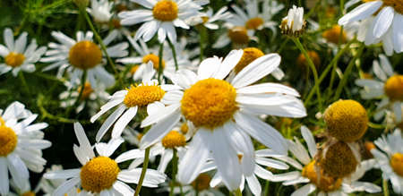 Closeup of Chamomile flower field near forrest growing on ground during summer. 写真素材 - 128903124