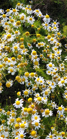 Closeup of Chamomile flower field near forrest growing on ground during summer. 写真素材 - 128903129