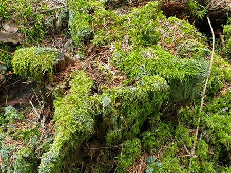 Nahaufnahme von bemoosten Stub, Stumpf oder Stamm im Wald im Sommer. Standard-Bild