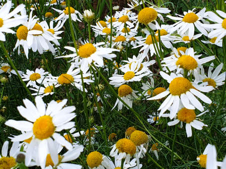 Chamomile or camomile flowers field closeup near forest during summer. Green grass and flowers field. 写真素材 - 128903133