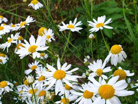 Chamomile or camomile flowers field closeup near forest during summer. Green grass and flowers field. 写真素材 - 128903276