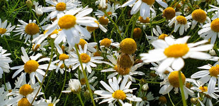 Closeup of Chamomile flower field near forrest growing on ground during summer. 写真素材 - 128903289