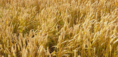 Closeup of Golden brown wheat field crops in countryside near forrest during summer. Agriculture. 写真素材 - 128903300