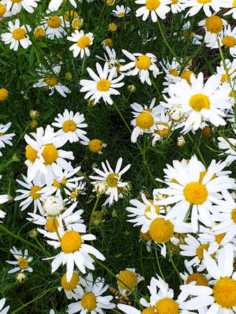 Chamomile or camomile flowers field closeup near forest during summer. Green grass and flowers field. 写真素材 - 128903594